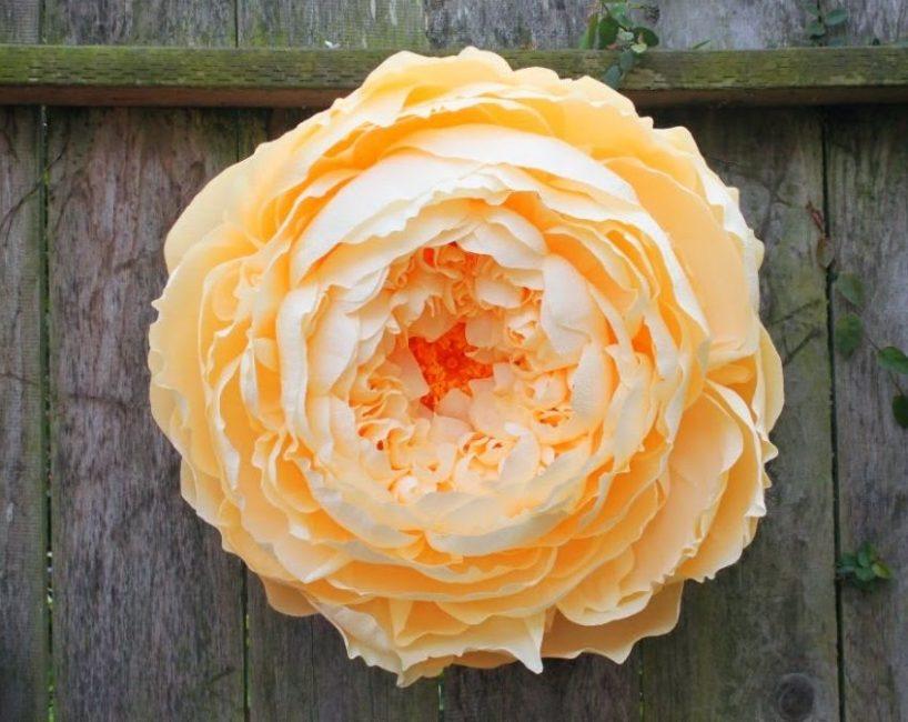 Гигантский цветок пиона