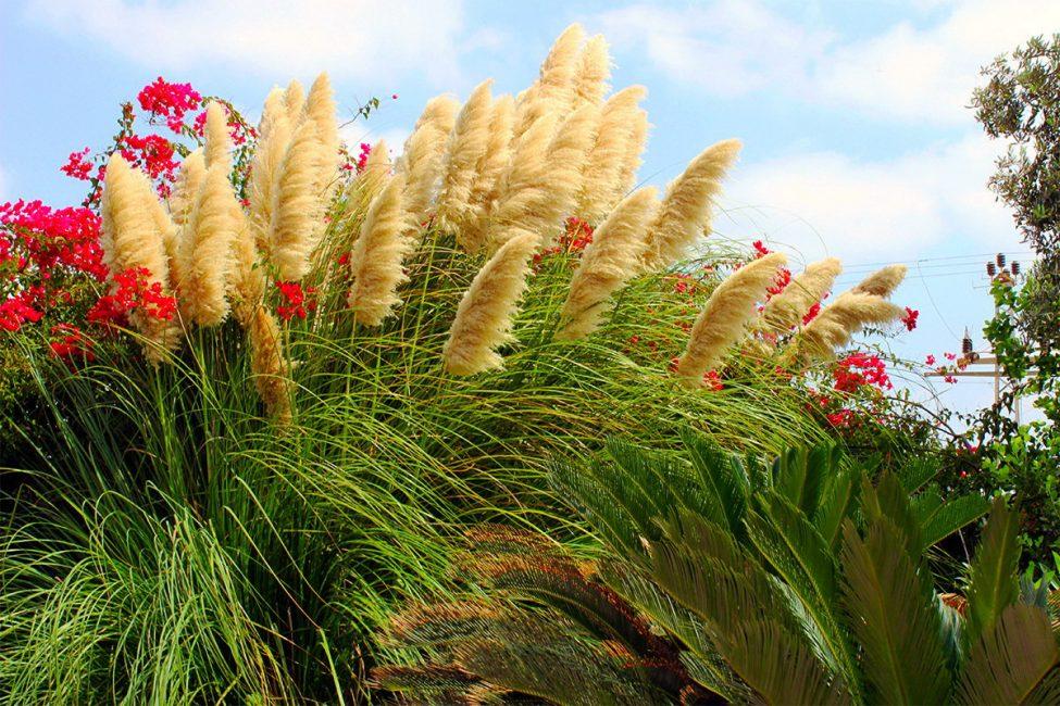 Высокое растение с кистями