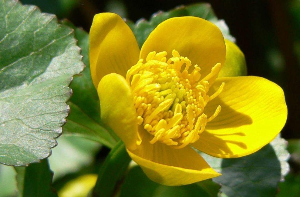 Яркие желтые лепестки свойственны