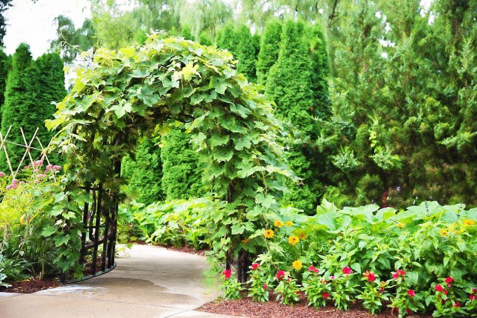 Создания живой арки растениями