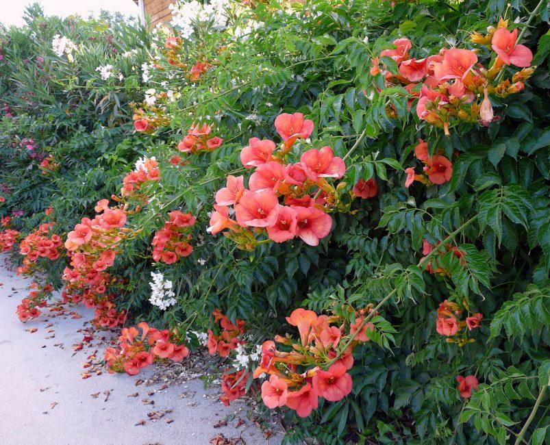 В течение всего лета на побегах распускаются многочисленные соцветия