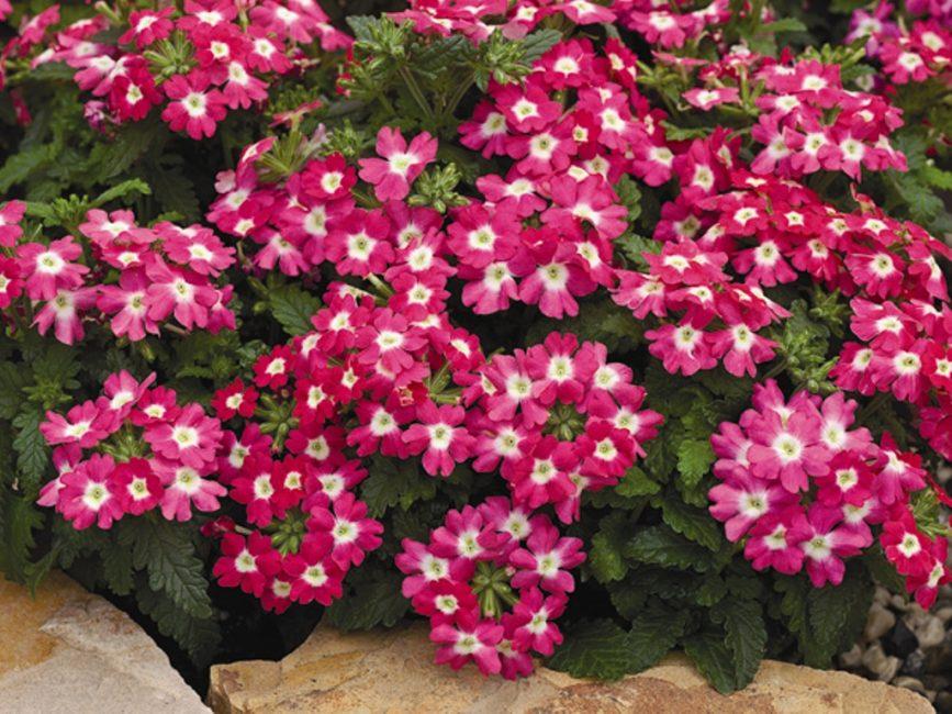 В цветоводстве чаще всего используются гибриды