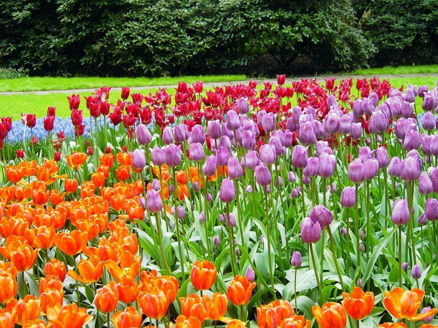 Цветочная мозаика из тюльпанов