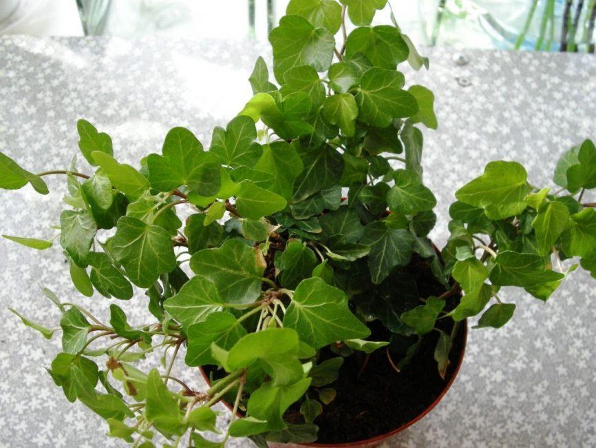 Озеленение кухонного пространства с помощью вьющихся растений