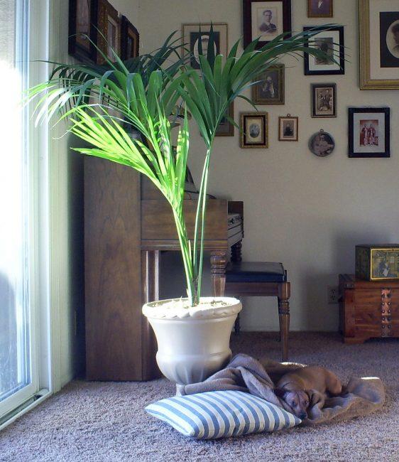 Огромная пальма в интерьере гостиной