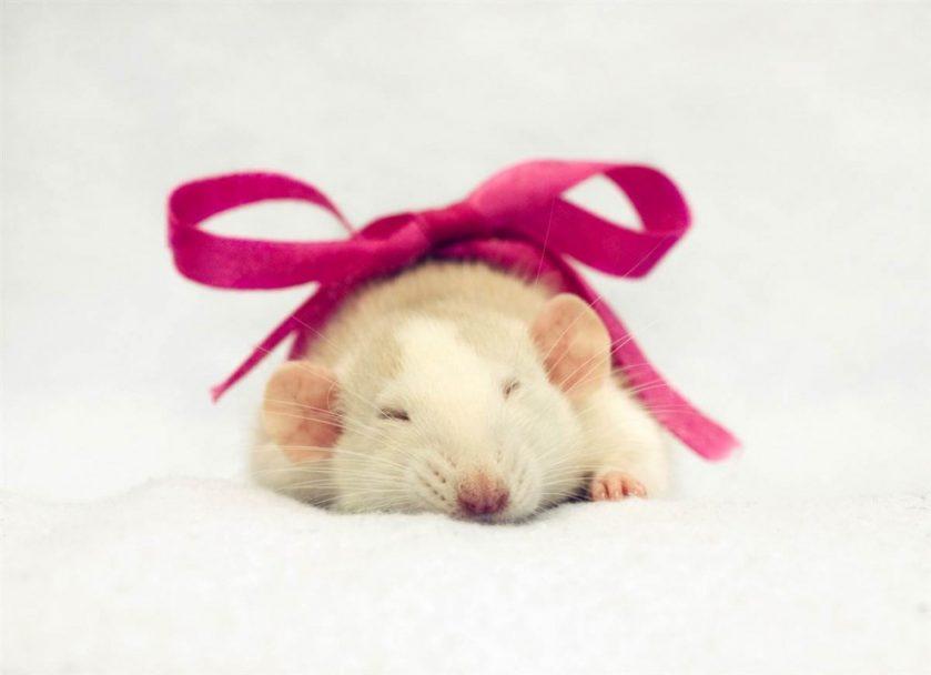 Крыска в подарок