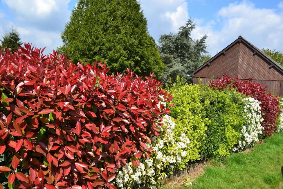 Листопадные кустарники чаще используются для свободно растущих изгородей