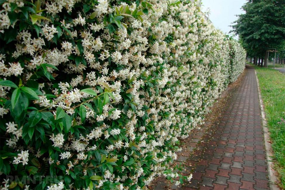 Цветущий забор - красивый в любое время года