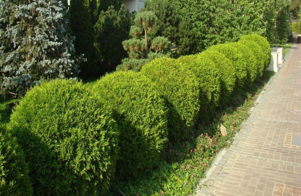 Выбор растений для изгороди большой и разнообразный