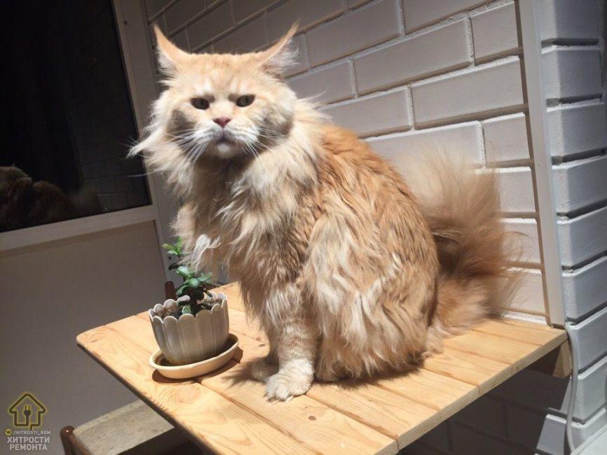 Больше всех ремонт оценил хозяйский рыжий кот
